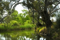 Riverbank willows